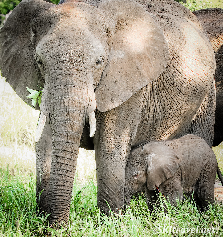 Infant elephant with wrinkled forehead standing close to mom's leg. Tarangire national park, Tanzania.