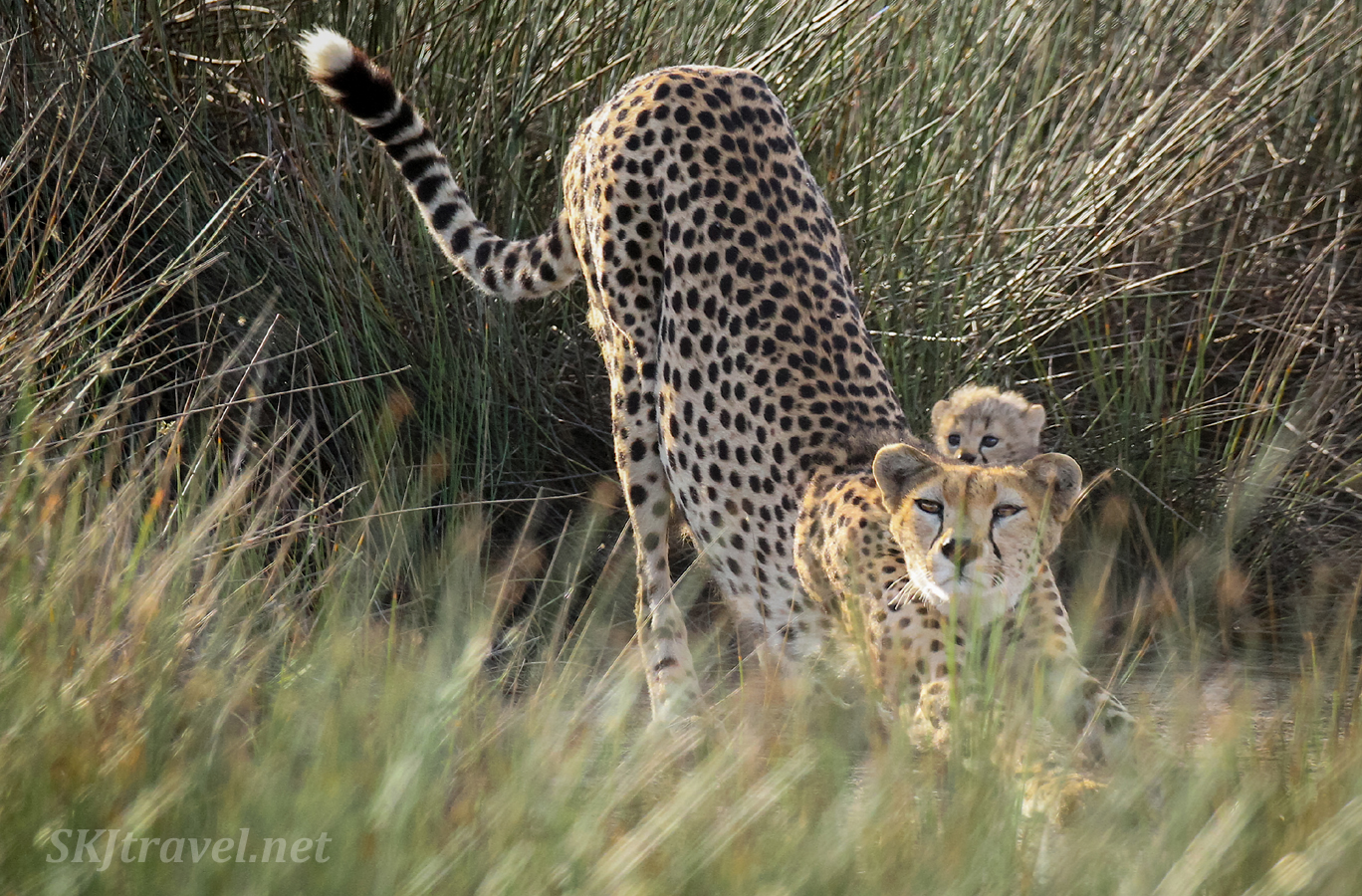 Cheetah cub peeking over the top of mom's head as she stretches. Ndutu, Tanzania.