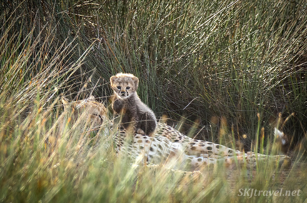 Cheetah cub sitting on her mom lying down. Ndutu, Tanzania.