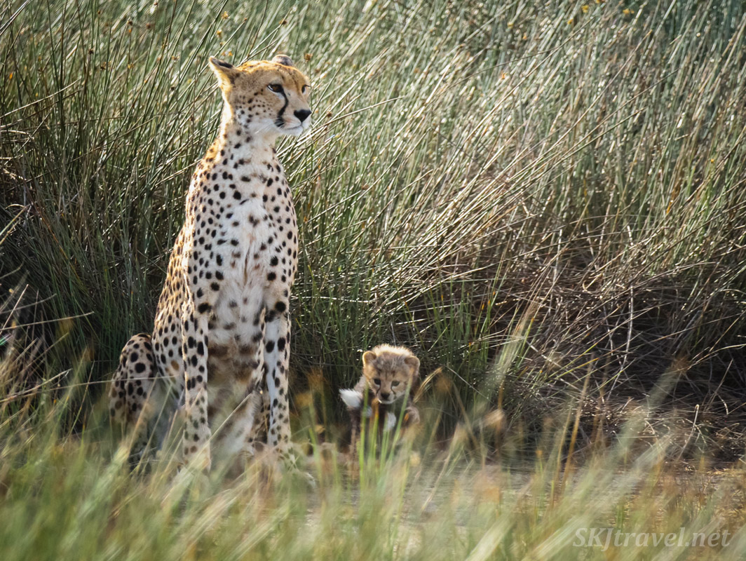 Cheetah cub playing with its mom's tail. Ndutu, Tanzania.