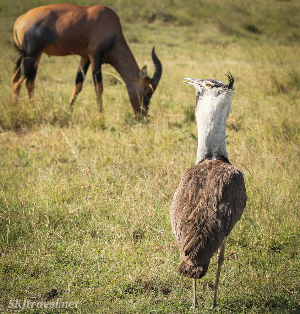 Kori bustard with neck puffed out, topi grazing in the background. Masai Mara, Kenya.