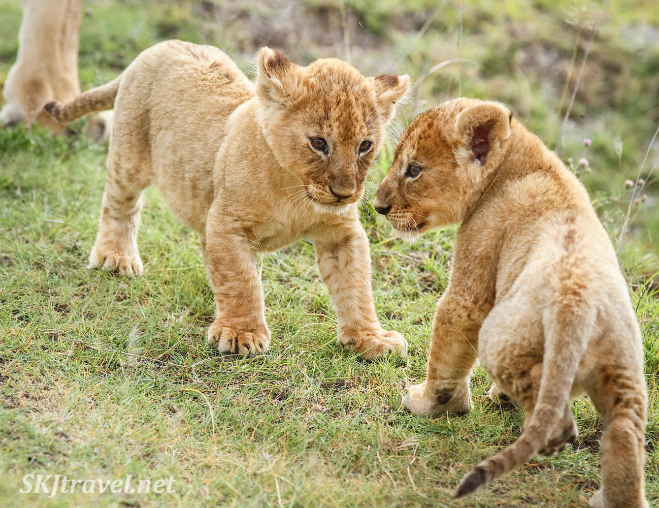 One lion cub wanting to tussle with his sibling. Ndutu, Tanzania.