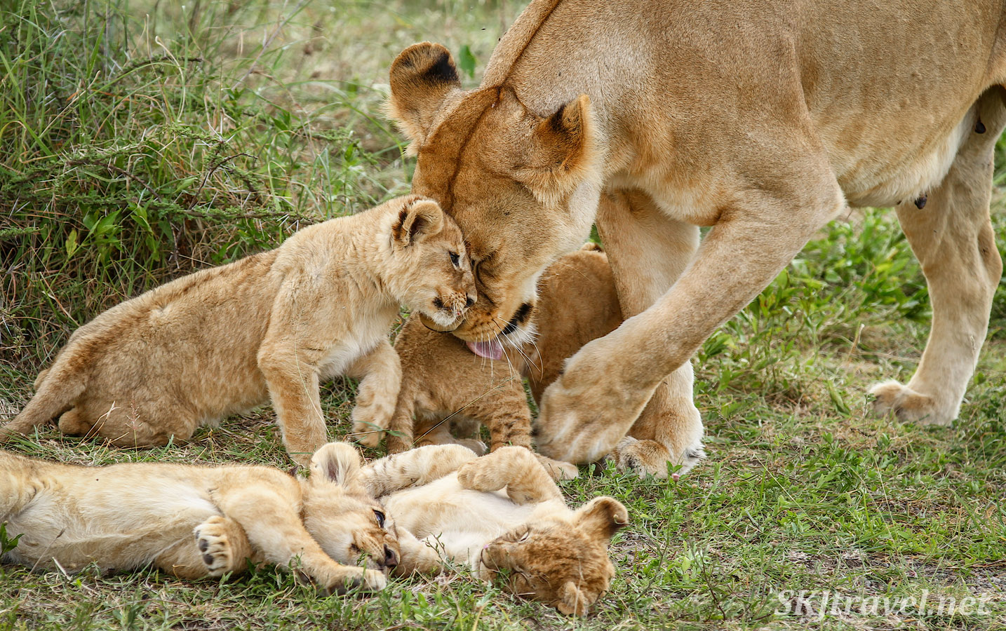 Mother lioness and very young cub nuzzling heads together. Ndutu, Tanzania.