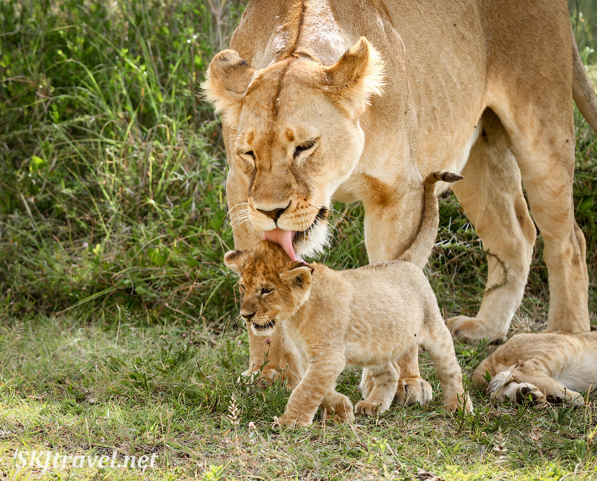 Mother lioness licking her cub on the head. Ndutu, Tanzania.