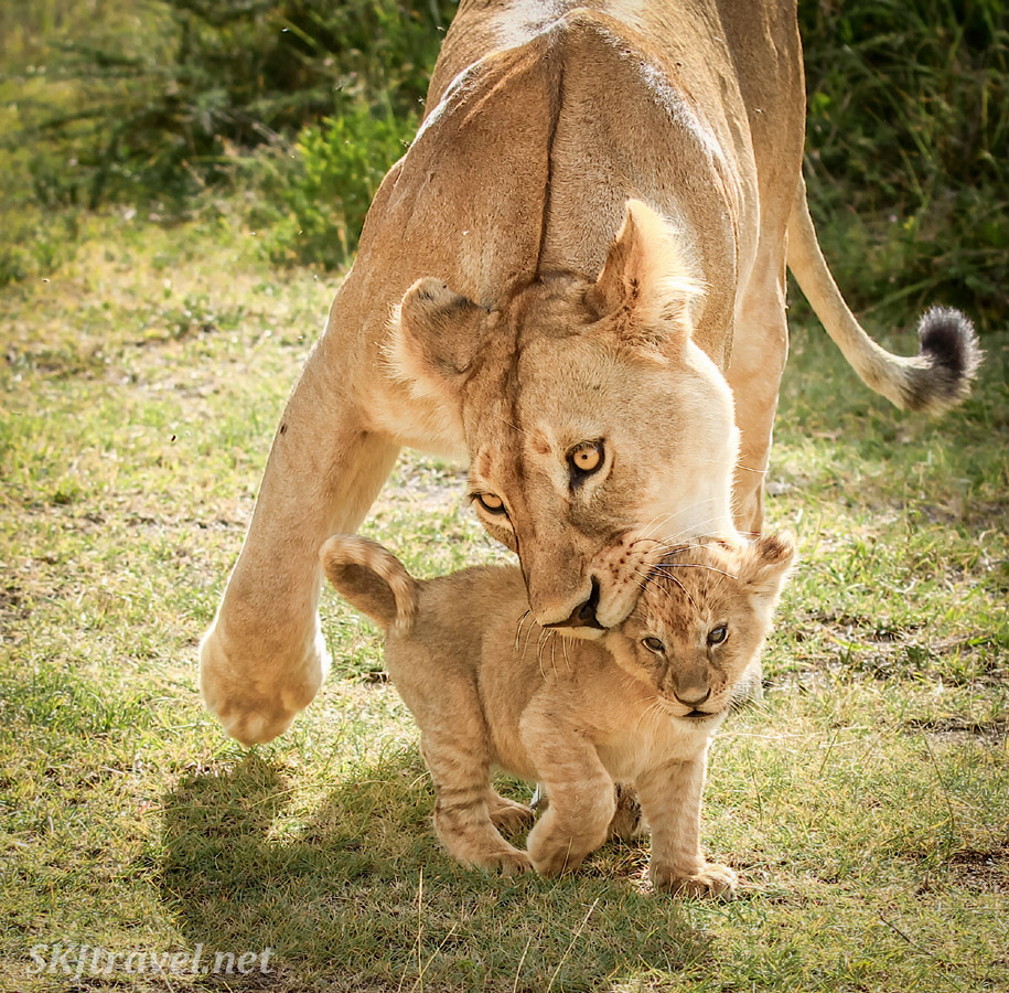 Mother lioness picking her cub up by the scruff of the neck. Ndutu, Tanzania.