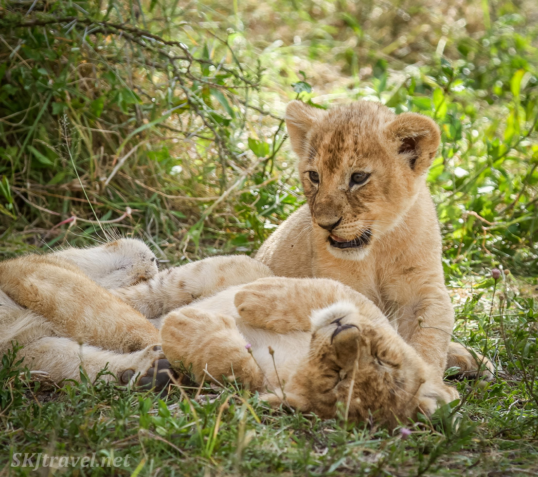 Tiny lion cubs in the grass. Ndutu, Tanzania.