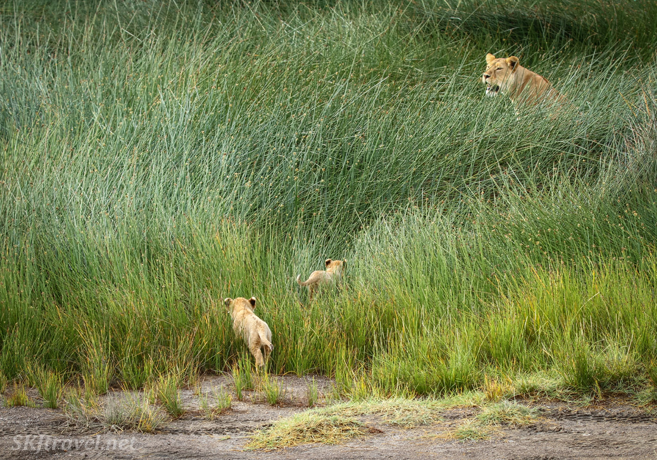 Lioness leading cubs back into tall reeds after a play session on the grass. Ndutu, Tanzania.
