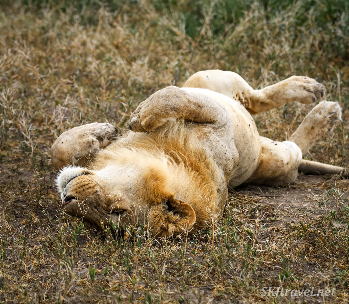 Male lion sleeping on his back. Ndutu, Tanzania.