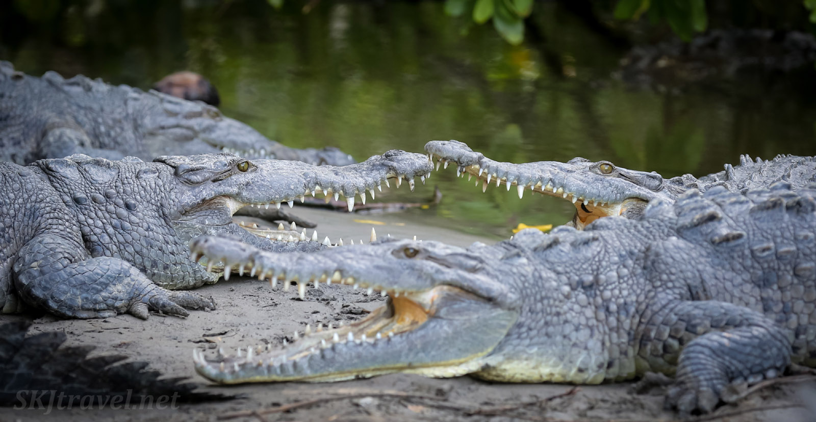 American crocodiles with mouths open showcasing their teeth. Popoyote Lagoon, Playa Linda, Ixtapa, Mexico.