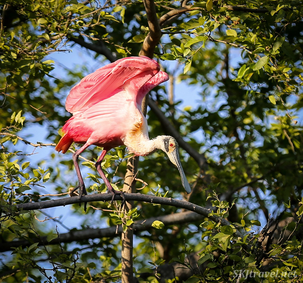 Roseate spoonbill basking in the early morning, Popoyote Lagoon, Playa Linda, Ixtapa, Mexico.
