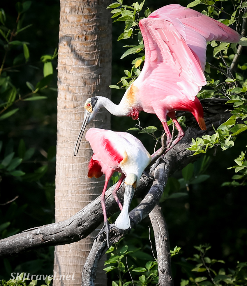 Roseate spoonbills interacting in the early morning, Popoyote Lagoon, Playa Linda, Ixtapa, Mexico.