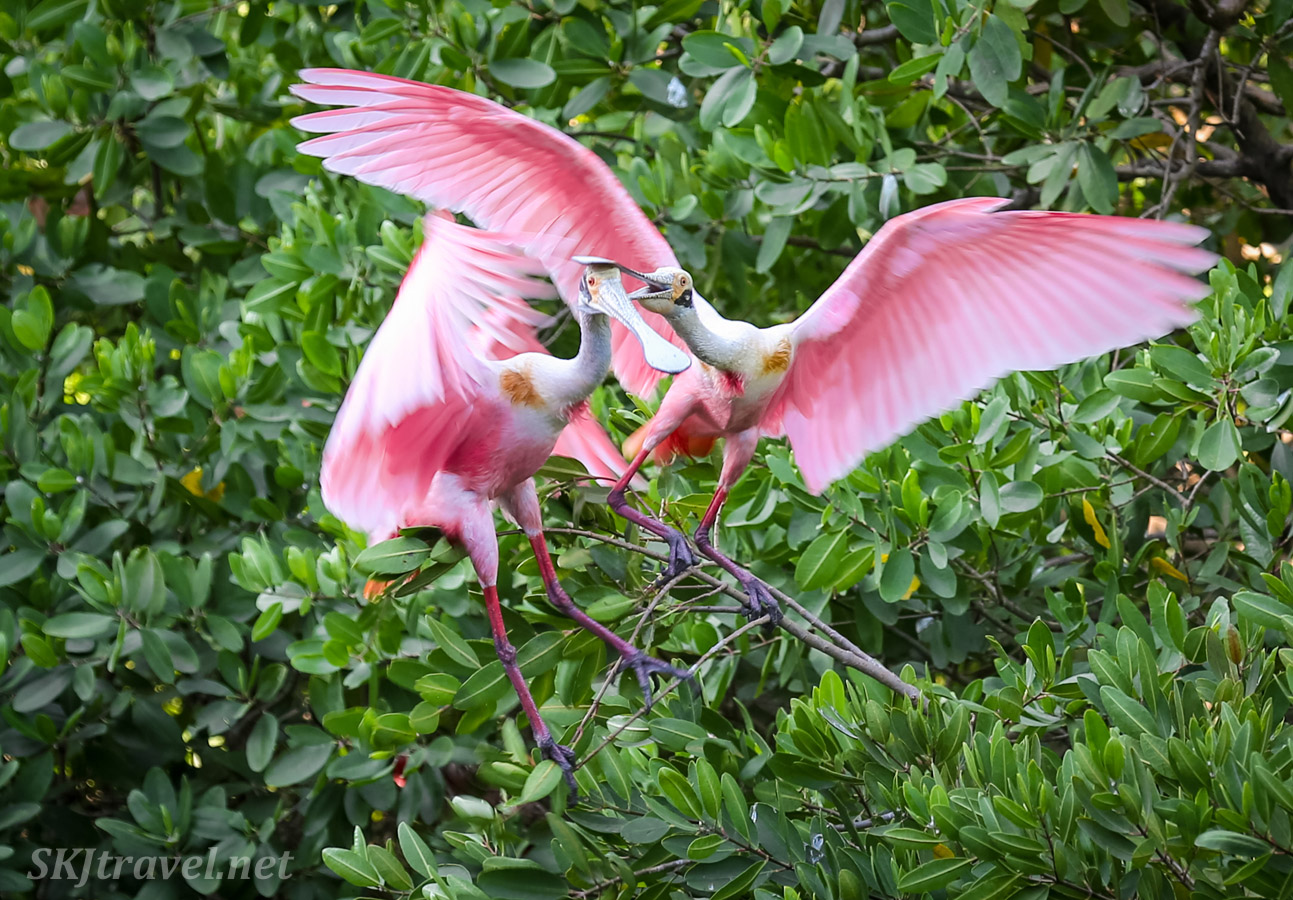 Roseate spoonbills mating in the mangrove trees in the early morning, Popoyote Lagoon, Playa Linda, Ixtapa, Mexico.