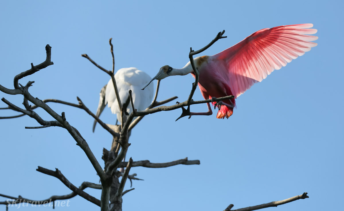 Wood stork and roseate spoonbill occupying the same tree, Popoyote Lagoon, Playa Linda, Ixtapa, Mexico.