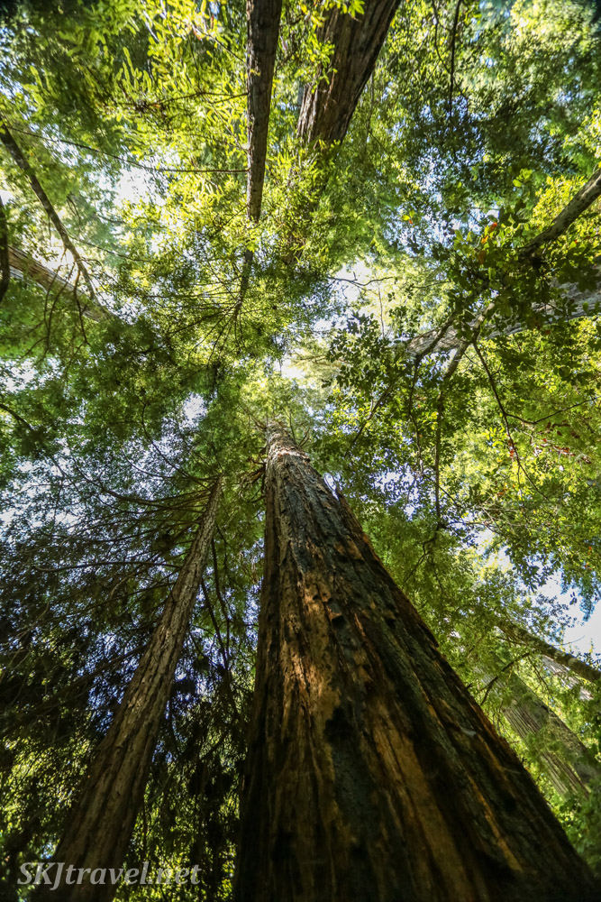Looking up the trunks of redwood trees in Big Basin Redwoods State Park, California.