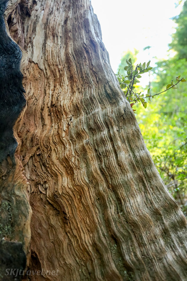 Amazing bark of an old growth redwood tree. Big Basin Redwoods State park. California.