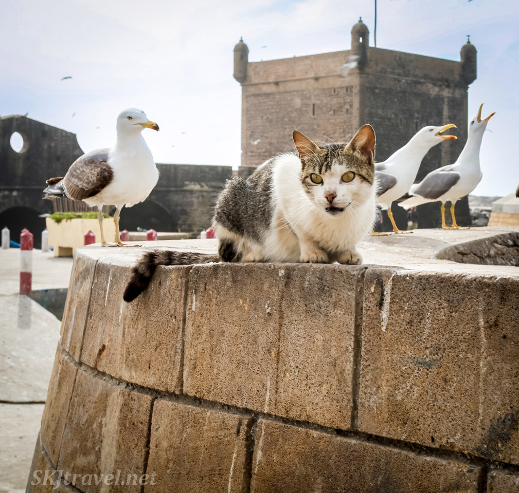 Cat on a wall with seagulls at the seashore, Essaouira, Morocco.