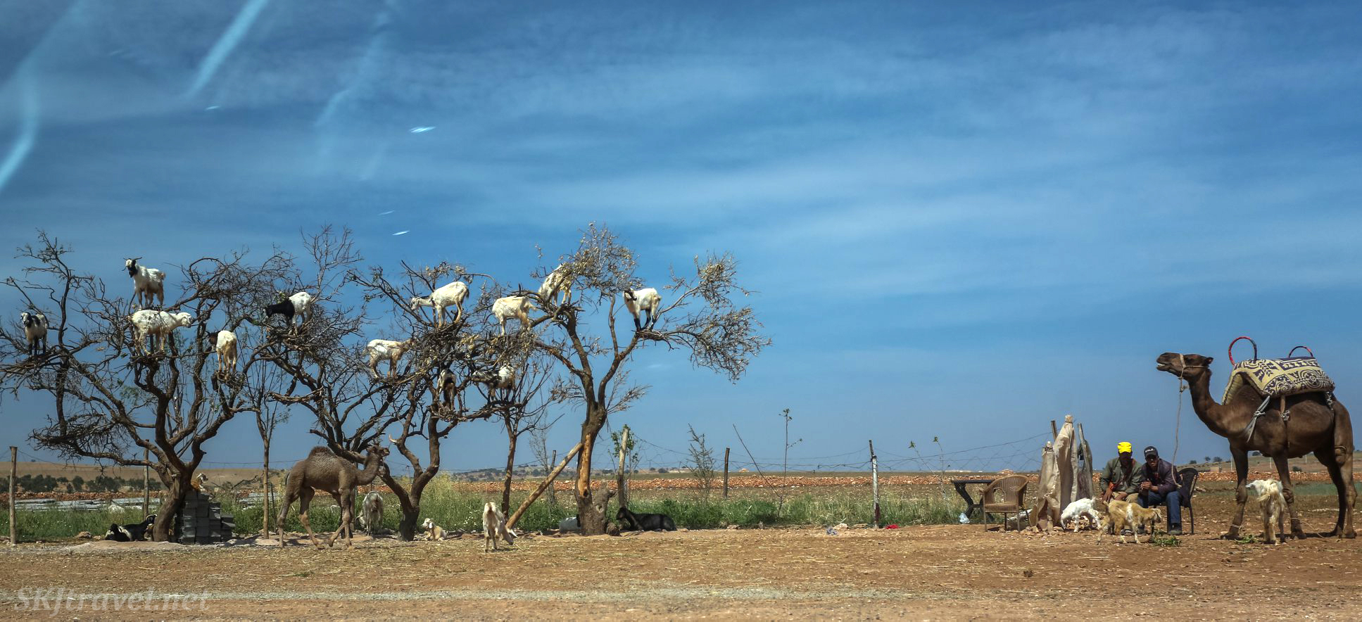 Goats in a tree and camels along the roadside between Marrakech and Essaouira, Morocco.
