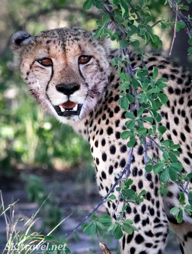 Cheetah sitting in the shade of leafy bushes. Nxai Pan, Botswana.