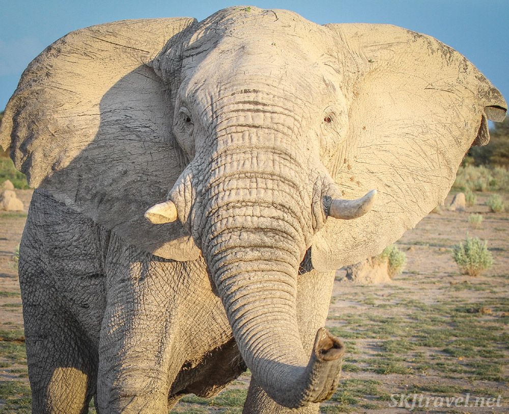 Elephant close-up sniffing me with his trunk. Nxai Pan, Botswana.