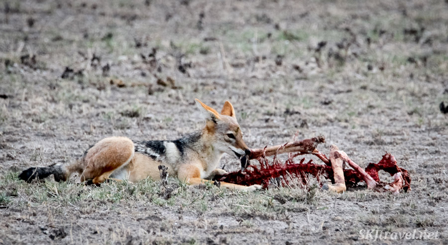 Black backed jackal scavenging a springbok carcass. Nxai Pan, Botswana.