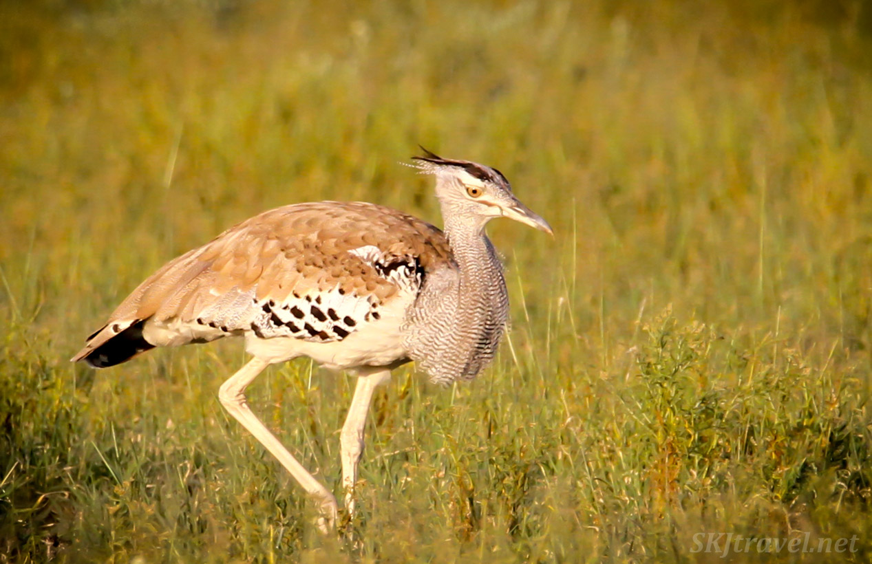 Kori bustard walking through tall grass, Central Kalahari Game Reserve, Botswana. close-up