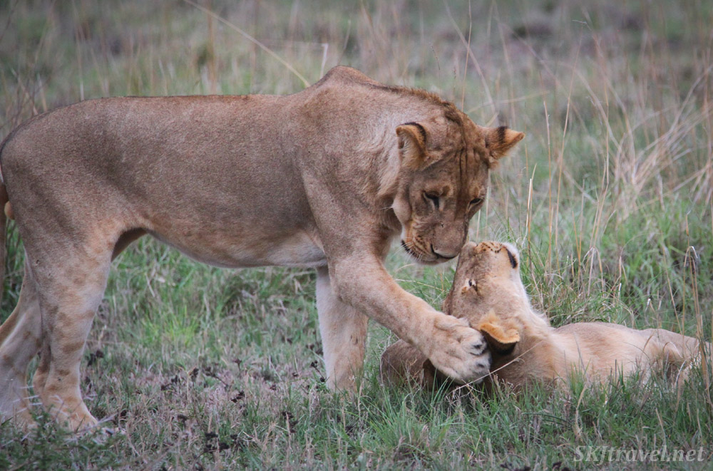 Young lions playing. Nxai Pan, Botswana.