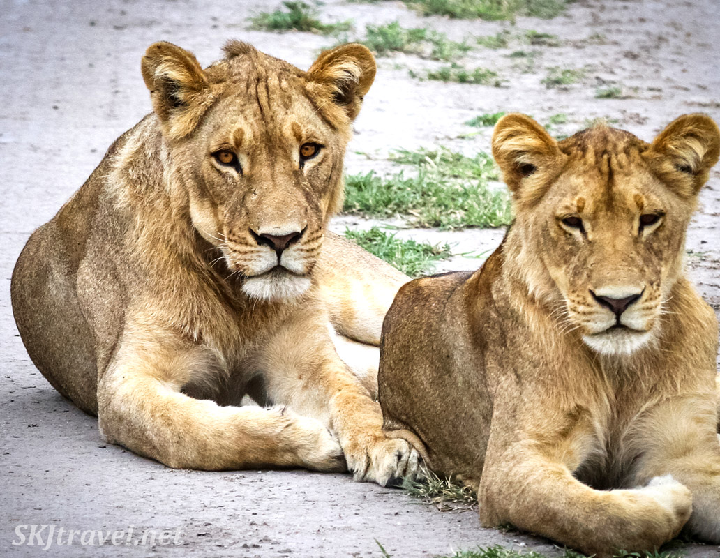 Pair of young lions lying in the road, Nxai Pan, Botswana.