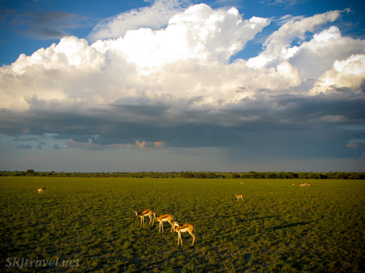 Three springbok on the Central Kalahari Game Reserve plains, thundercloud brewing above them near sunset.
