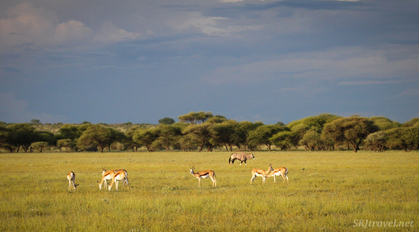 Springbok and oryx on the lush grassy plain in Central Kalahari Game Reserve, Botswana, in the wet green season.