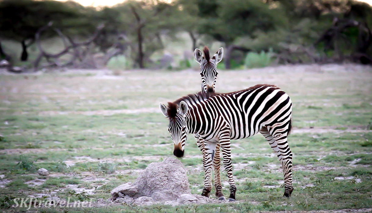 Zebra playing peek-a-boo behind another zebra. Nxai Pan, Botswana.