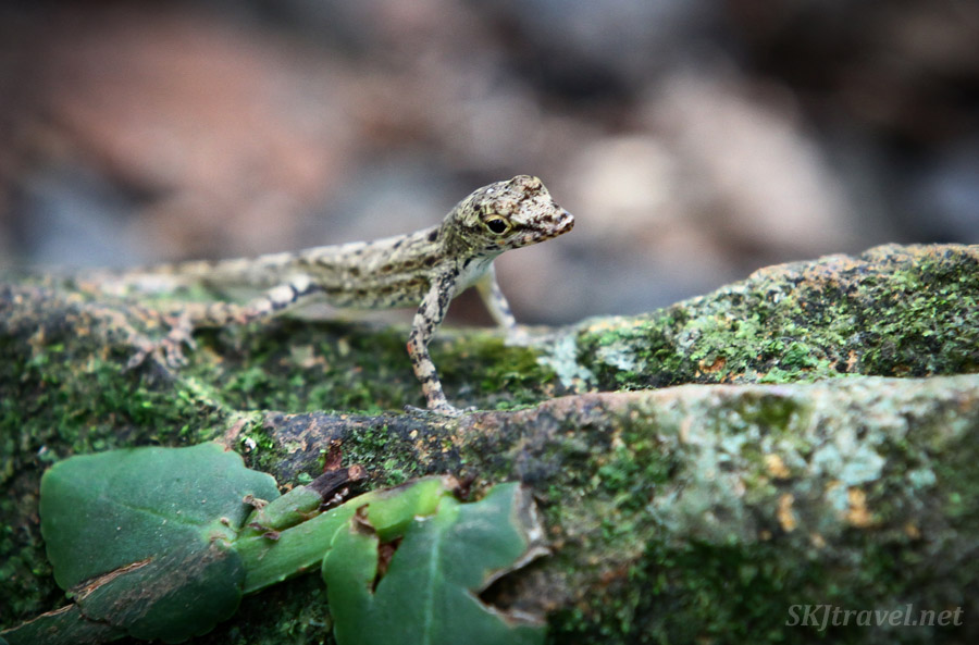 Tiny lizard camouflaged on a rock, El Yunque National Park, Puerto Rico.