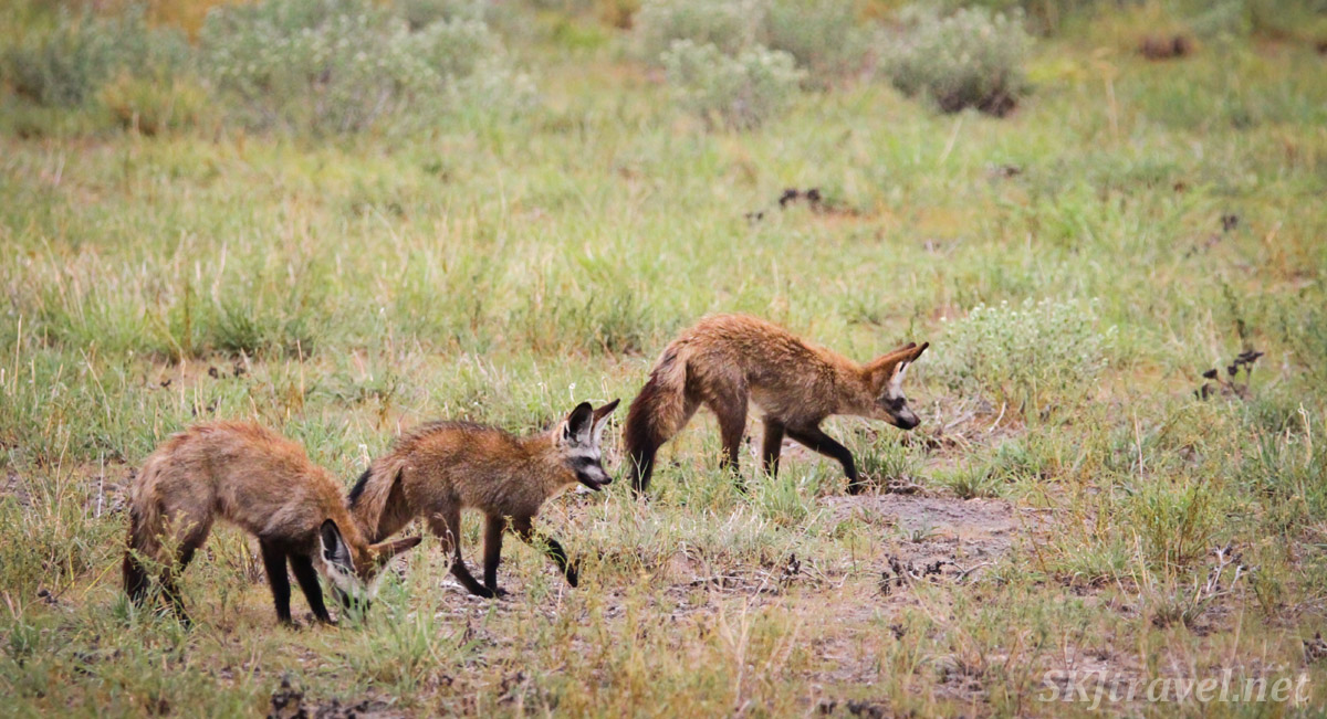 Pack of bat eared foxes hunting together in the Central Kalahari Game Reserve, Botswana. Wet green season.