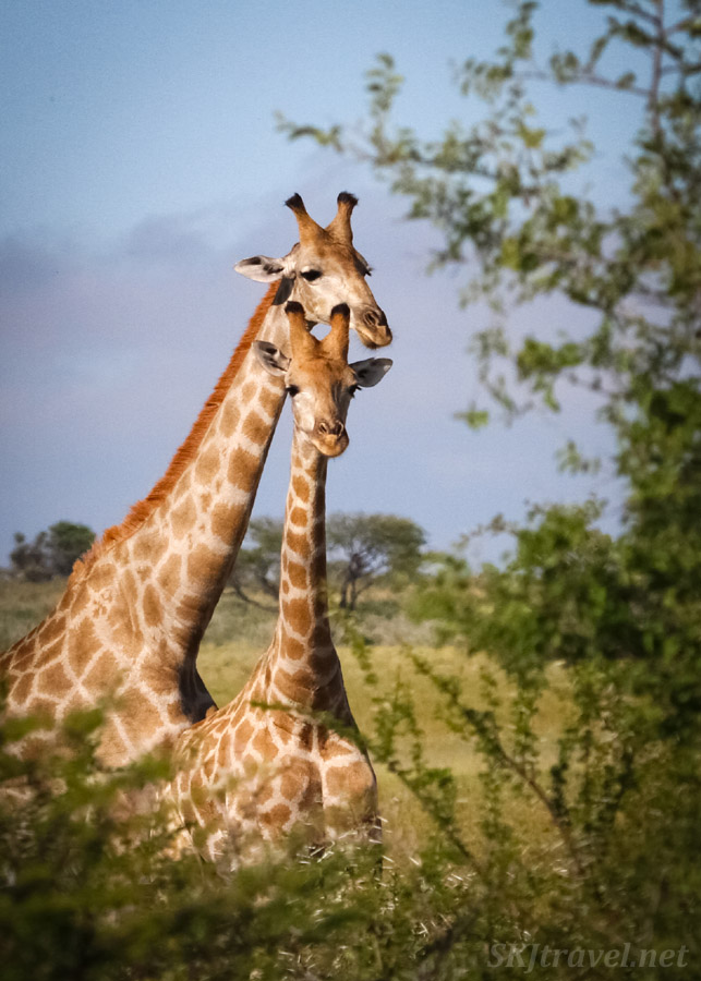 Pair of giraffes eating in tall leafy trees, Central Kalahari Game Reserve, Botswana, rainy green season.