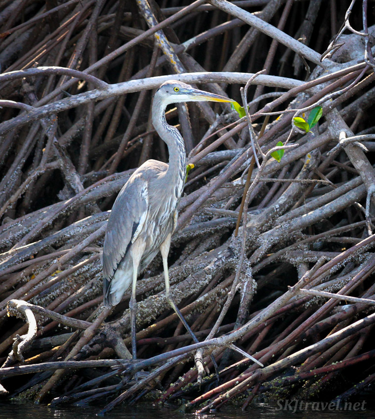 Great blue heron, Barra de Potosi, Ixtapa, Mexico.