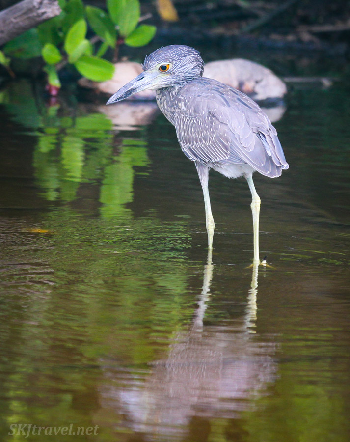 Juvenile yellow crowned night heron.Popoyote Lagoon, Ixtapa, Mexico.