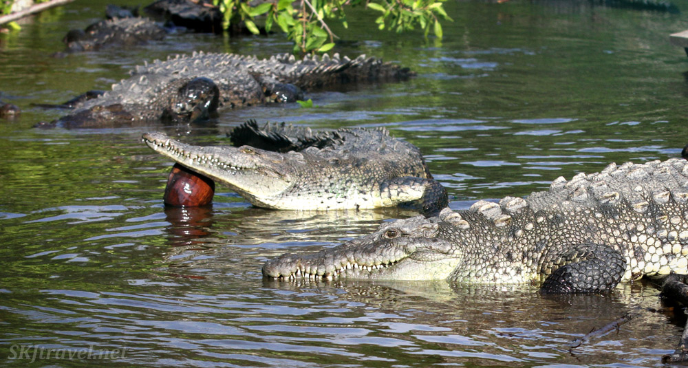 American crocodiles in the Popoyote Lagoon refuge, Playa Linda, Ixtapa, Mexico. cocodrilario crocodile reserve