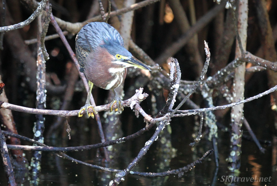 Green heron at Barra de Potosi, Ixtapa, Mexico.
