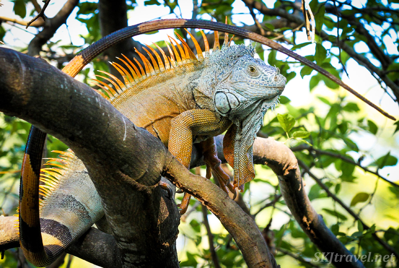 Large male iguana in a tree. Popoyote Lagoon, Ixtapa, Mexico. cocodrilario crocodile reserve