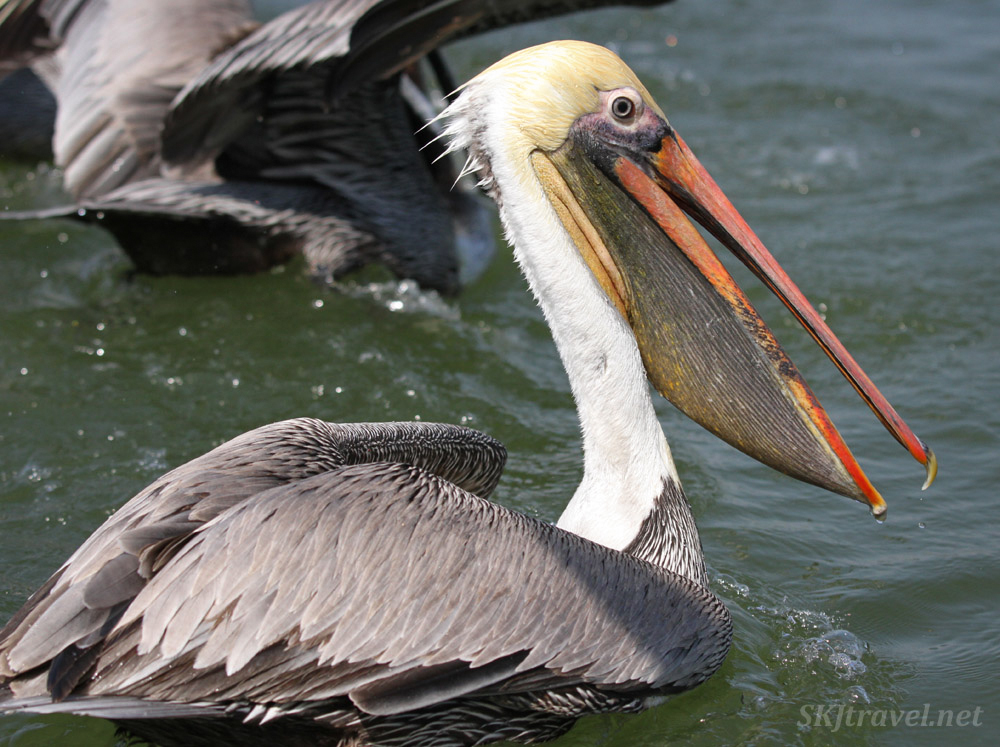 Adult brown pelican. Barra de Potosi, Zihuatanejo, Mexico.
