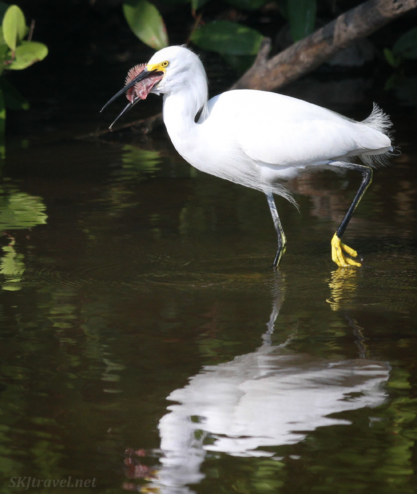 Egret eating his lunch. Popoyote Lagoon, Ixtapa, Mexico. cocodrilario crocodile reserve