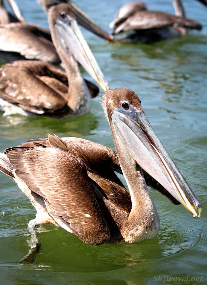 Young brown pelican, Barra de Potosi, Zihuatanejo, Mexico.