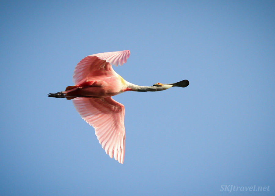 Two roseate spoonbill bird in flight. Ixtapa, Mexico. cocodrilario crocodile reserve