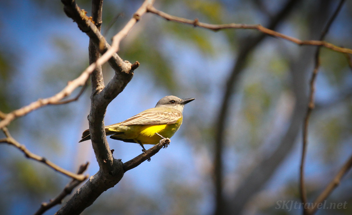 Tropical kingbird, small yellow bird living in Popoyote Lagoon, Ixtapa, Mexico.