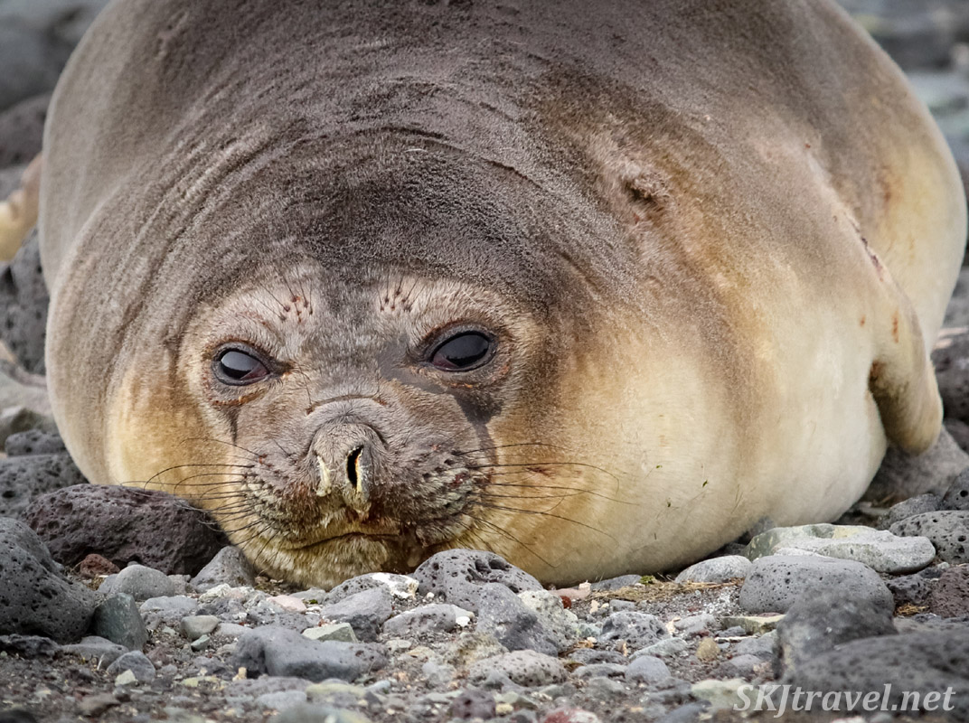 Looking pretty snug for a seal on rocks. Antarctica.