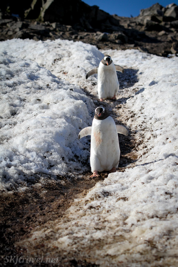 Penguins commuting down to the ocean on a penguin highway. Antarctica.