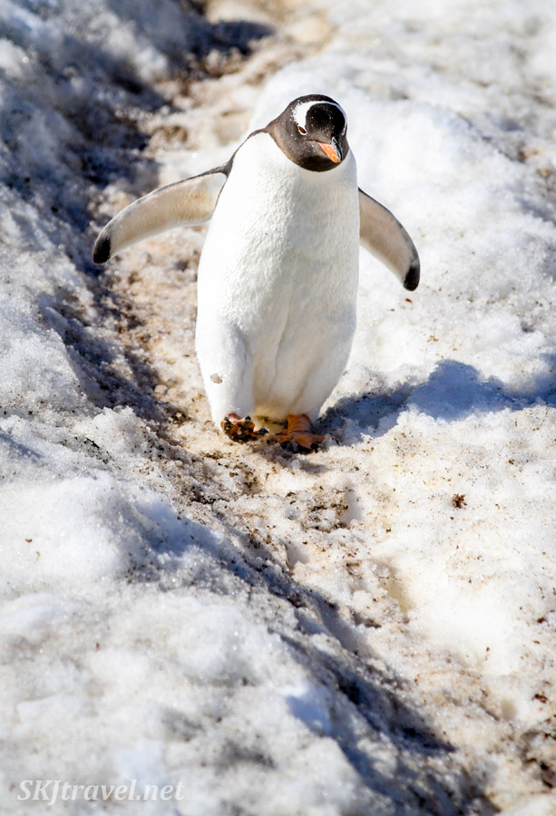 Penguin commuting to the sea from his nest on a penguin highway. Antarctica.