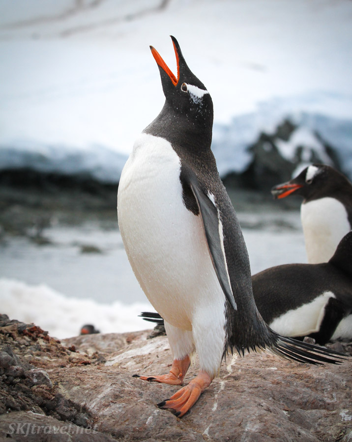 Gentoo penguin calling out to a mate. Mikkelsen Harbor, Antarctica.