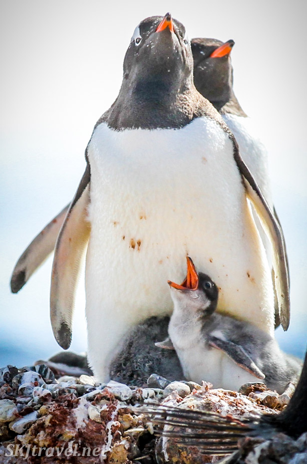 Gentoo penguin chick crying out with its sibling curled up behind him. Yankee Harbour, South Shetland Islands.