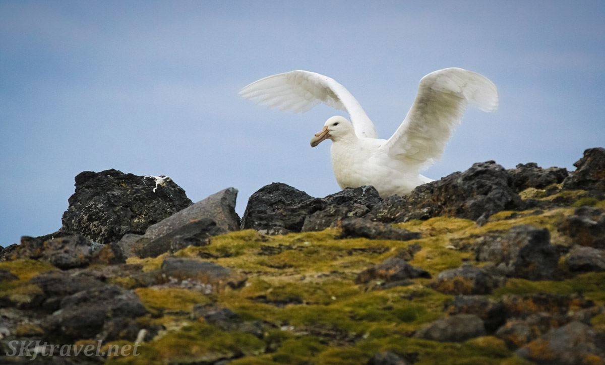 White southern giant petrel, wings open, Penguin Island, South Shetland Islands.