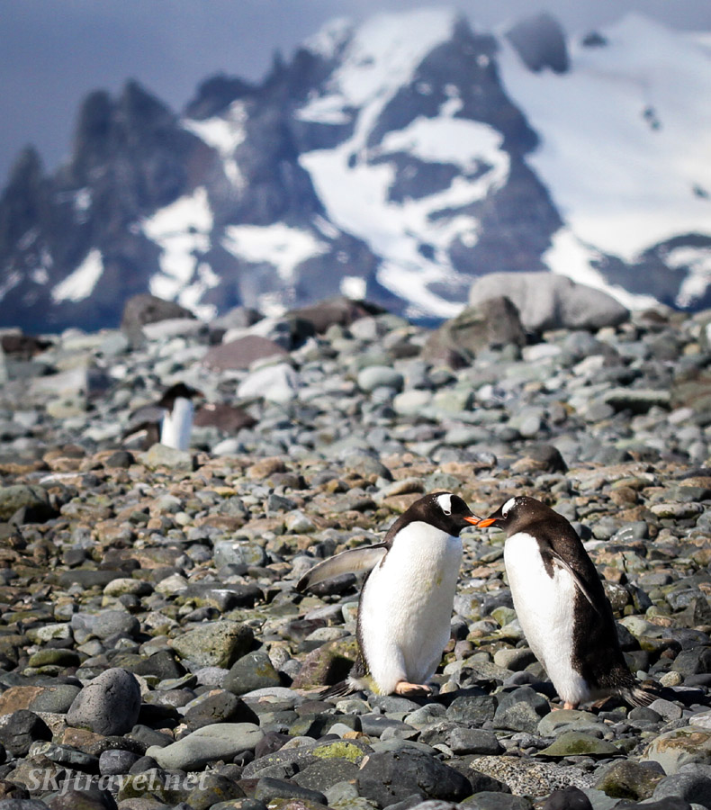 Two penguins, one giving directions to the other, Yankee Harbour, South Shetland Islands.